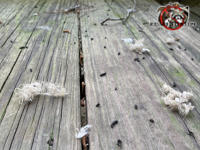 Bat droppings and bits of insulation on a wooden deck from bats using the gable vent over the deck to get into an attic in Valdosta Georgia.