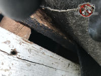 Lifted shingle reveals a half inch gap between the roof sheathing and fascia that allowed bats into the attic of a house in Birmingham Alabama