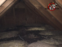 Pile of bat guano on the insulation in the attic of a house in Lakeview Tennessee