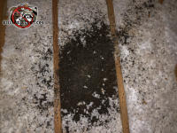 Pile of bat guano about two inches high and eighteen by 24 inches wide in the insulation between the joists in the unfinished attic of a house in Odenville Alabama