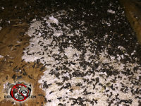 Pile of bat guano on the plywood floor of the attic of a house in Soddy Daisy Tennessee