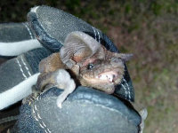 A bat grasped in a bat-removal technician's gloved hand with its head poking out