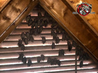 Several dozen bats on the screen behind the fable vent in the attic of a house in Birmingham Alabama