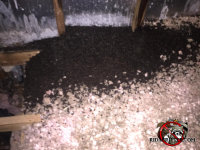 Large pile of bat guano in the insulation in the attic of a house in Birmingham Alabama