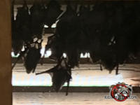 Two dozen or so bats roosting on the inside of a gable vent in the attic of a house in Albany Georgia