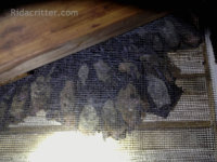 Bats on a screen on an attic vent at a bat removal job in Leeds, Alabama