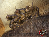 A cluster of bats by a gable vent in the attic of a house in Hoover, Alabama