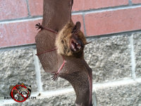 A bat in flight toward the camera, with teeth bared in a menacing way.