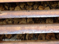 Bats between the slats of a gable vent in the attic of a home in Hoover, Alabama