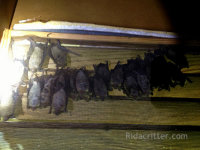 Bats on a mesh screen trying to get back into a home after being sealed out by Rid-A-Critter