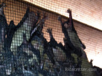 Bats on a screen at an Oxford, Alabama bat-proofing job