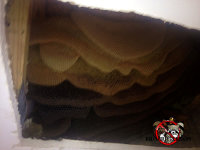 Honey bee combs in the exposed ceiling void of a house in Dunlap Tennessee