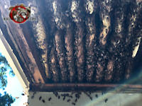 Honey bee hive with at least eleven combs and bees crawling on them inside the exposed soffit of a house in Chattanooga Tennessee