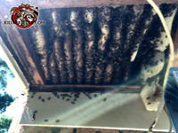 Exposed honey bee nest with honey bees on the combs and buzzing around before the bees and nest were removed from an Americus Georgia home.