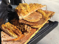 Honey bee combs on tailgate after removal from a house in Flowery Branch GA