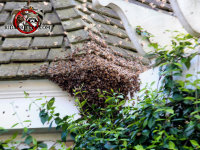 Honey bee swarm on the corner of a slate roof at a house in Barnesville Georgia