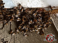 Cluster of honey bees swarming around a hole in the wooden siding of a house in Columbus Georgia.