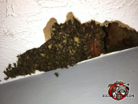 Honey bees visible through broken sheet rock in the ceiling of a house in Collegedale Tennessee