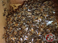 Close up of many honey bees on their hive in a wall void in a house in Cordele Georgia