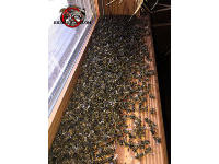 Dead honey bees on the window sill of a cabin in Signal Mountain Tennessee