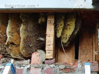 An exposed honey bee hive in a brick wall in a house in Leeds, Alabama
