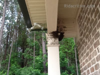 Honeybees swarming on the porch of a home in Midfield, Alabama