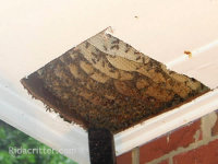 Honeybee hive removal through a cut-open ceiling in a house in Moody, Alabama