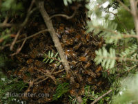 A swarm of honeybees in a bush in Mountain Brook, Alabama