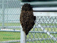 Honeybees swarming around a fence post in Pell City, Alabama