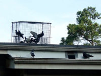 Pigeons in a trap on the roof of an apartment building in Cumming, Georgia