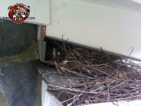 Bird nest under a roof junction on top of a house in Chattanooga Tennessee