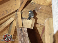 A small bird on a wooden timber in the attic of a house in Bonaire Georgia.