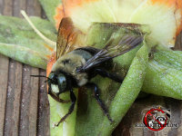 Close up of a carpenter bee on a flower that is lying on a picnic table