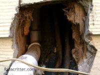 A big raccoon hole along the side of a house in Birmingham, Alabama