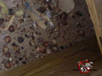 Acorns found in an attic at Forsyth, Georgia flying squirrel removal job