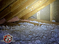 Flying squirrel crouched in the far corner of the unfinished attic of a house in Americus Georgia.