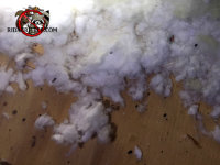 Flying squirrel droppings in the insulation in the attic of a house in Collegedale Tennessee