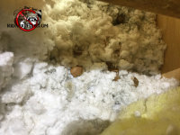 Flying squirrel droppings and acorn shells in the attic insulation in a house in Jasper Tennessee