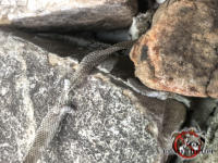 Snake skin hanging from a gap between the stones that flying squirrels used to get into a house in Birmingham Alabama