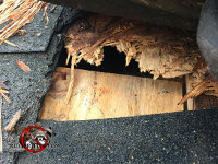 Flying squirrels gnawed through the shingles and sheathing to get into a house in Hoover Alabama