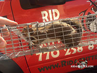 Flying squirrel in a cage trap after being removed from a house in Chattanooga Tennessee
