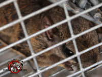 Close up of a flying squirrel in a cage trap after being removed from a house in Lakeview Tennessee