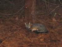 Fox, at night, trapped during an Atlanta, Georgia fox control job