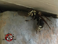 A bald-faced hornet going into a house in Jasper, Georgia through a hole in the exterior