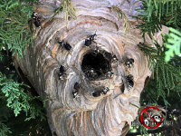 Bad faced hornets nest with hornets crawling all over it in a bush outside a house in Macon Georgia