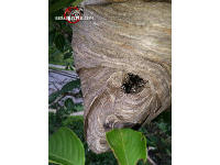 Close up of hornets nest showing sentries guarding the entry hole of the nest