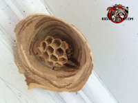 A single European hornet inside a nest that she is just beginning to build