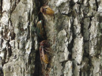 European hornets nesting in tree bark