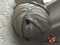 A hornets nest, virewed from below, on a house in Birmingham, Alabama