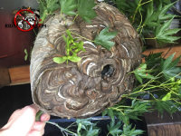 Hornets nest around branches removed from a bush near a house in East Ridge Tennessee